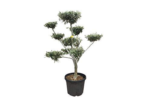 Olivenbaum 140/160 cm mit Formschnitt