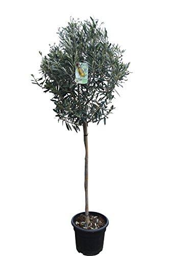 Olivenbaum-Stämmchen 160 cm hoch