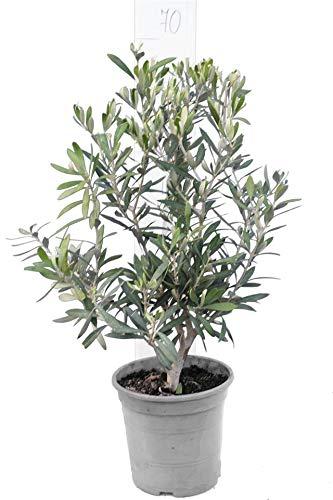 Olivenbaum Gesamthöhe 70-90cm Topf Ø 20cm