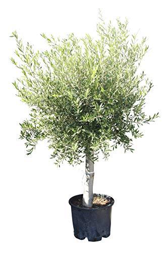 Olivenbaum mit dickem Stamm 30/40 cm Umfang