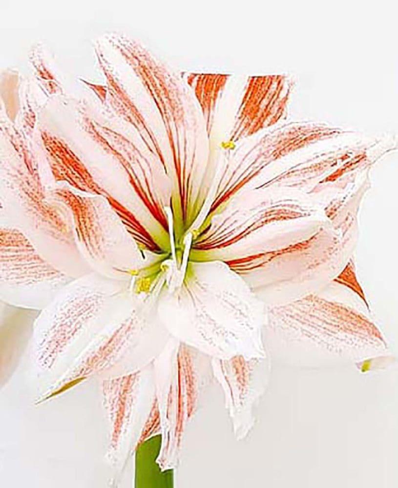 Hochzeitsblumen Amaryllis