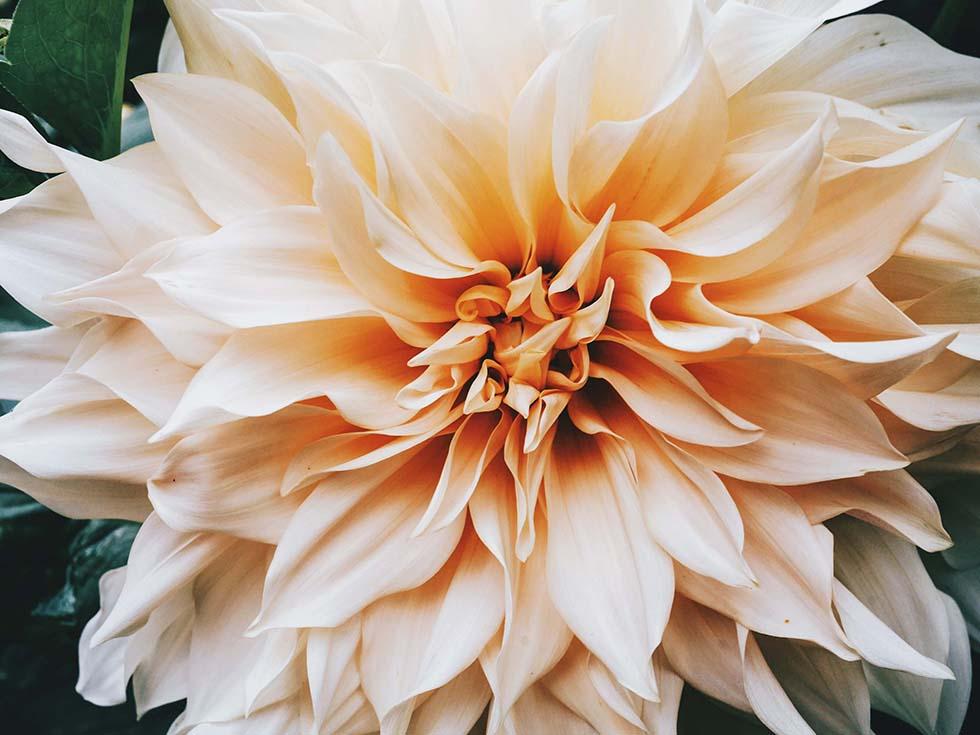 Hochzeitsblumen Dahlie