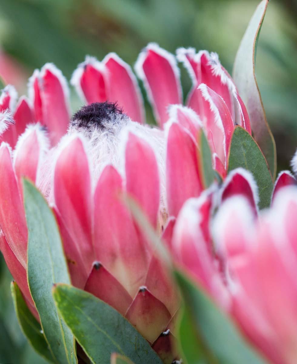 Hochzeitsblumen Protea