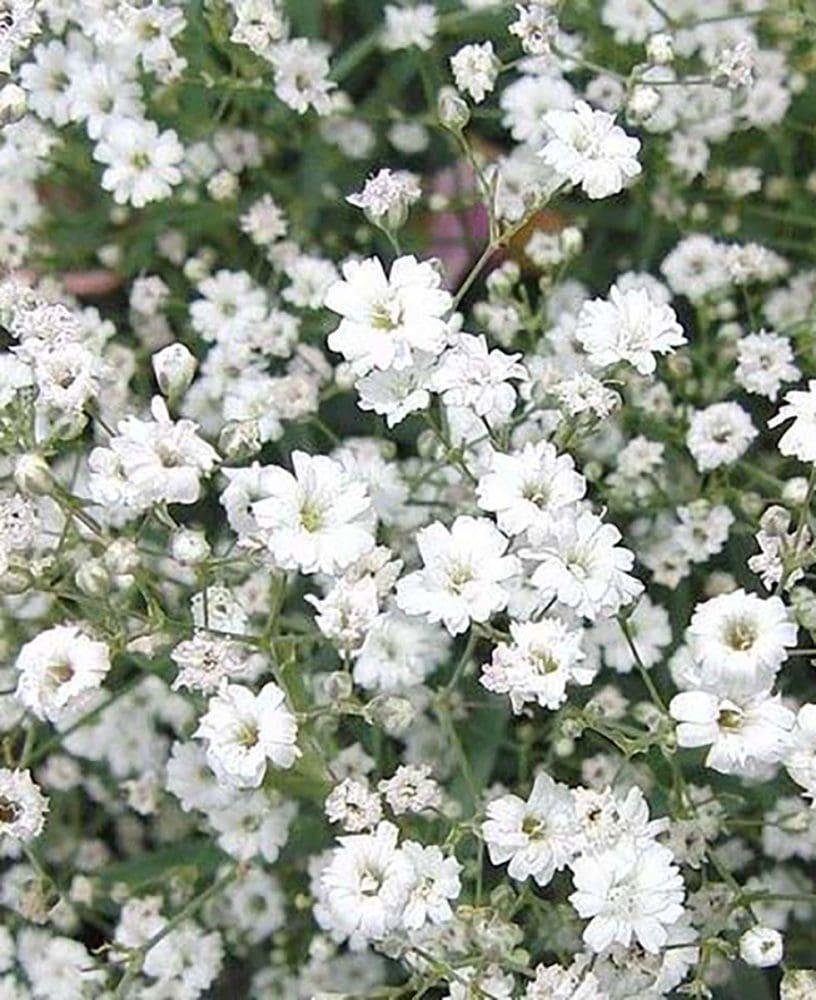 Hochzeitsblumen Schleierkraut